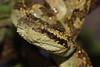 IMG_9514 (Chaitanya Shukla) Tags: amboli amboli201505 asianpitvipers macro maharashtra malabarpitviper reptilesandamphibiansofindia sindhudurga snakesofindia trimeresurus trimeresurusmalabaricus viperidae vipers india