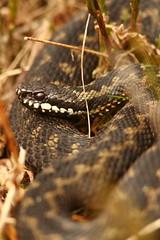 Male Adder (Derbyshire Harrier) Tags: adder 2018 britishnativereptile britishnativesnake viper peakdistrict peakpark derbyshire easternmoors nationaltrust rspb male viperaberus snake spring april