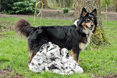 Mother with kids (K.Verhulst) Tags: collie bordercollie pups hond dog huisdier pets pet puppies scottishsheepdog coth5