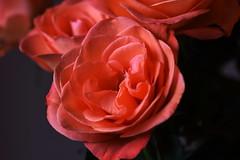 DSC_9065 Orange Rose (PeaTJay) Tags: nikond750 sigma reading lowerearley berkshire macro micro closeups gardens indoors nature flora fauna plants flowers bouquet rose roses rosebuds