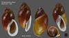 strophocheilus debilis2 bresil 46mm8 (MALACOLLECTION Landshells Freshwater Gastropods) Tags: strophocheilidae strophocheilinae strophocheilus strophocheilusdebilis bequaert1948 bresil brazil pernambucostate recife claudeandamandineevanno gastéropodes gastropods invertebrates faune fauna macro gastropoda escargots terrestres collection schnecken mollusques molluscs mollusca coquillages landshells landschnecken landmollusken landsnails malacologie malacology macrophotography macrophotographie