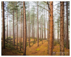 Culbin Forest (Rainmaker Photography) Tags: sony a7r metabones ef culbin forest moray scotland mist trees