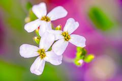 Trio (ErrorByPixel) Tags: flora pentaxart macro flower flowers bright nature color smc pentaxd fa 100mm f28 wr smcpentaxdfamacro100mmf28wr errorbypixel pentax k5 pentaxk5 blossom spring blur