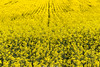 Yellow? (Wayfarer in the clouds) Tags: rapeseed field countryside italy marche landscape yellow flower spring