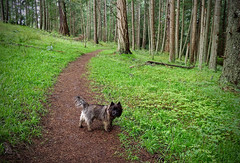 WALK IN THE PARK (shoebox50) Tags: cairnterrier olympuspenf victoriabc canada