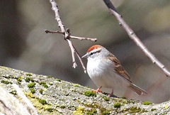 Chipping Sparrow  at Garret Mountain (Tombo Pixels) Tags: garretmountain180238 chipping sparrow bird garretmountain audubonwalk audubon nj newjersey twb1 wilsonave