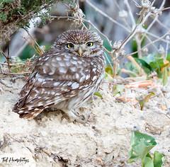 Little owl at La Finca 17th April 2018 (Ted Humphreys Nature) Tags: littleowl owls raptors birdsofprey predators spain tedhumphreysnature