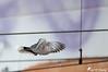 En vol 1 (jean-daniel david) Tags: oiseau tourterelle tourterelleturque bokeh fil vol volatile nature animal filélectrique yverdonlesbains