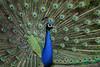 Peacock @ Pairi Daiza 19-05-2017 (Maxime de Boer) Tags: peacock bird vogel pairi daiza zoo animals dieren dierentuin gods creation schepping creator schepper genesis