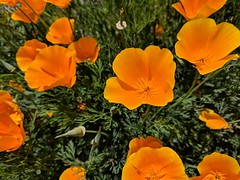 April 14: Eschscholzia californica (earthdog) Tags: 2018 eschscholzia californica eschscholziacalifornica plant flower poppy califorinapoppy googlepixel pixel androidapp moblog cameraphone museum pacificgrovemuseumofnaturalhistory project365 3652018