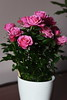 DSC_9088 (PeaTJay) Tags: nikond750 sigma reading lowerearley berkshire macro micro closeups gardens indoors nature flora fauna plants flowers bouquet rose roses rosebuds