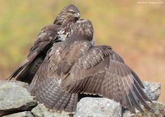 """La sorpresa"" (Simone Mazzoccoli) Tags: nature wild wildlife poiana buzzard colors natura animal animali"