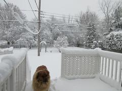 ** Un réveil tout blanc...** - 2/3 (Impatience_1 (peu...ou moins présente...)) Tags: neige snow chutedeneige snowfall hiver winter m impatience zipper chien dog cour yard clôture fence arbre tree