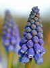 Muscari - grape hyacinths (conall..) Tags: muscari grape hyacinth grapehyacinth pot patio