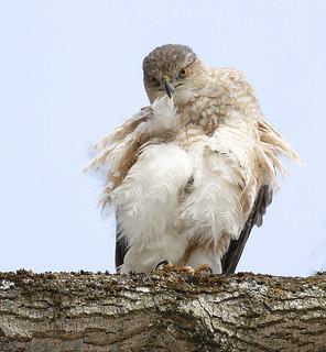 Epervier de Cooper (femelle) -  Cooper's Hawk