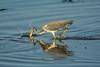 In the strike zone (ChicagoBob46) Tags: tricoloredheron heron bird florida jndingdarlingnwr sanibel sanibelisland nature wildlife coth5 ngc npc