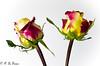 Duo de rose 02 (letexierpatrick) Tags: rose fleurs fleur flowers flower botanique blanc jaune nature nikond7000 nikon