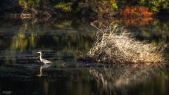Soft Light (59roadking - Jim Johnston) Tags: ifttt 500px autumn calm fall water heron light reflection pond