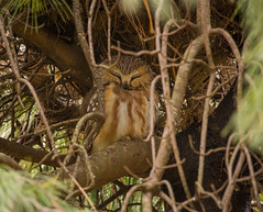 Northern Saw-Whet Owl (scott5024) Tags: northern saw whet owl