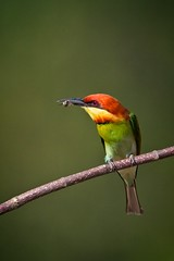 Bee Eater with a Bee about to be Eaten (neil.dalphin) Tags: yellow bird birds bee beeeater eater beeeaters eaters penang malaysia tropic tropics asia
