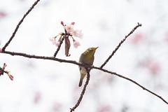 _3188233.jpg (plasticskin2001) Tags: mejiro sakura bird flower
