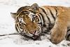 Sweetheart (Anja Anlauf) Tags: tier tiger sibirischer säugetier raubkatze groskatze schee