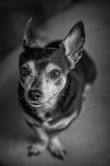 S1170082BW (sswee38823) Tags: daisy dog chihuahua littledog blackwhite blackandwhite bw leicasl leicasltyp601 leicacameraagleicasl vario varioelmaritsl12842490asph elitechihuahuas elitechihuahua