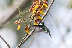 Beija-flores me encantam! ⠀ --- ENGLISH --- ⠀ Hummingbirds fascinates me! ⠀ ⠀  #beijaflor #hummingbird #bird #birdwatch #birding #birdwatching #observacaodeaves #birdphotography #natureza #nature #wildlife #wild #brasil #brazil #fotografiadenatureza #natu (Leonardo Merçon) Tags: observacaodeaves naturephotography birdphotography beautifulnature belezasdobrasil photonature nature birding hummingbird wild fotografiadenatureza wildlifephotography ultimosrefugios mtur vidaselvagem brazil birdwatching beijaflor ilovenature brasil beautyofnature wildlife birdwatch natureza bird conservationphotography mothernature wildlifephotobeijaflorcolibricuitelochupaflorpicaflorchupamelbingaguanambiguinumbiguainumbiguanumbipassaroaveambienteasabicobiologiaobservacaodeavescoloridocriaturaecologiafaunaselvagemmeioambientenaturalornitologiaovipar