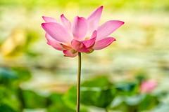 夏梦 Summer Dreams (Anna Kwa) Tags: lotus flower bokeh annakwa nikon d750 7002000mmf28 my summer dreams always seeing heart soul throughmylens pulse love destiny fate life earth journey round luisfonsi despacito 緩緩 jjlin 林俊傑