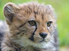 Close cheetah cub portrait (Tambako the Jaguar) Tags: cheetah big wild cat cub young baby portrait face looking close closeup cute basel zoo zolli switzerland nikon d5