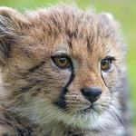 Close cheetah cub portrait thumbnail