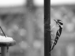 Downy time in the snow (karma (Karen)) Tags: baltimore maryland home backyard birds downywoodpecker dof bokeh mono bw hmbt topf25 cmwd