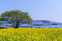 Rapeseed field (katahai) Tags: hitachi beach park rapeseed field nikon d810 flower tree hill nemophila sky garden japan
