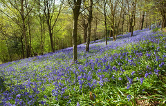 Emmetts Bluebells Tour (Adam Swaine) Tags: bluebells wildflowers flowers flora emmetts emmettsgdns nationaltrust nature naturelovers woodland woodlandfloor trees kent counties countryside spring springinkent england english britain british canon uk 2018 beautiful seasons walks