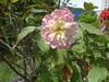 DSC05648 (familiapratta) Tags: sony dschx100v hx100v iso100 natureza flor flores nature flower flowers