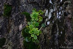 Saxifraga spathularis (Nelleke C) Tags: 2017 achillisland countymayo keel keembay saxifragaspathularis stpatrickscabbage coast flora holiday ierland ireland kust saxifragaceae vakantie