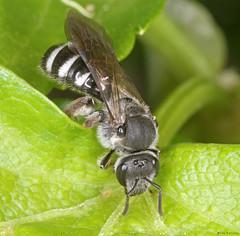 Lasioglossum sexnotatum (timz501) Tags: bee lasioglossumsexnotatum jersey