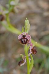 Ophrys arachnitiformis quadriloba (mikxel) Tags: fuji xt20 carlzeiss zeiss touit2850m touit 50mm macro wild orchid ophrys arachnitiformis sooc