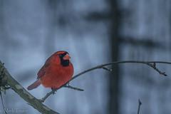 Northern Cardinal (*Ranger*) Tags: nikond3300 nature winter woodland snow bird wildlife tennessee usa
