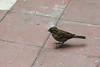 Chincol (Zonotrichia capensis) / Rufous-collared sparrow (Javiera C) Tags: chile santiago animal ave bird fauna wildlife naturaleza nature chincol zonotrichiacapensis rufouscollaredsparrow sparrow seeds semillas garden jardín ciudad city