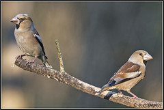 _DSC0092_Grosbec casse noyaux (patounet53) Tags: coccothraustescoccothraustes fringillidés grosbeccassenoyaux hawfinch passériformes bird oiseau