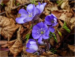Anemone hepatica (Windröschen, Leberblümchen) (ludwigrudolf232) Tags: blume blüte windröschen leberblümchen anemone hepatica frühling