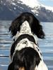 lookingforward (Drifting Iris) Tags: dog englishsetter birddog perspective nature outdoors animals oceanview oceanmountain