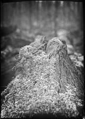 Moss and bark (salparadise666) Tags: kw patent etui 9x12 tessar 135mm large format view folding pocket analogue film camera vintage nils volkmer landscape nature moments spring season hannover region niedersachsen germany north german plains lowlands caffenol home development