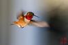 Male  Rufous Hummingbird in Flight (DragonSpeed) Tags: bif birdinflight hummingbird rufoushummingbird selasphorusrufus bird burnaby britishcolumbia canada ca