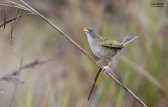 Lesser Grass-finch (Emberizoides ypiranganus)