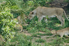 ZA5_1695 (lucvanderbiest) Tags: krugernp leeuwin