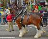 BIG HORSES! (BKHagar *Kim*) Tags: bkhagar mardigras neworleans nola la parade celebration people crowd beads outdoor street napoleon uptown horse horses clydesdale anheuserbusch