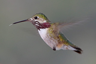 Calliope Hummingbird, Hover