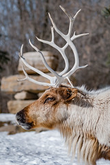 Woodland Caribou (Jean-Philippe Parisella) Tags: green woodland caribou majestic tundra snow winter ice white woods cervidae antler nikon d3000 stones inuksuk cairn animal wildlife wilderness head north canada quebec fur cold
